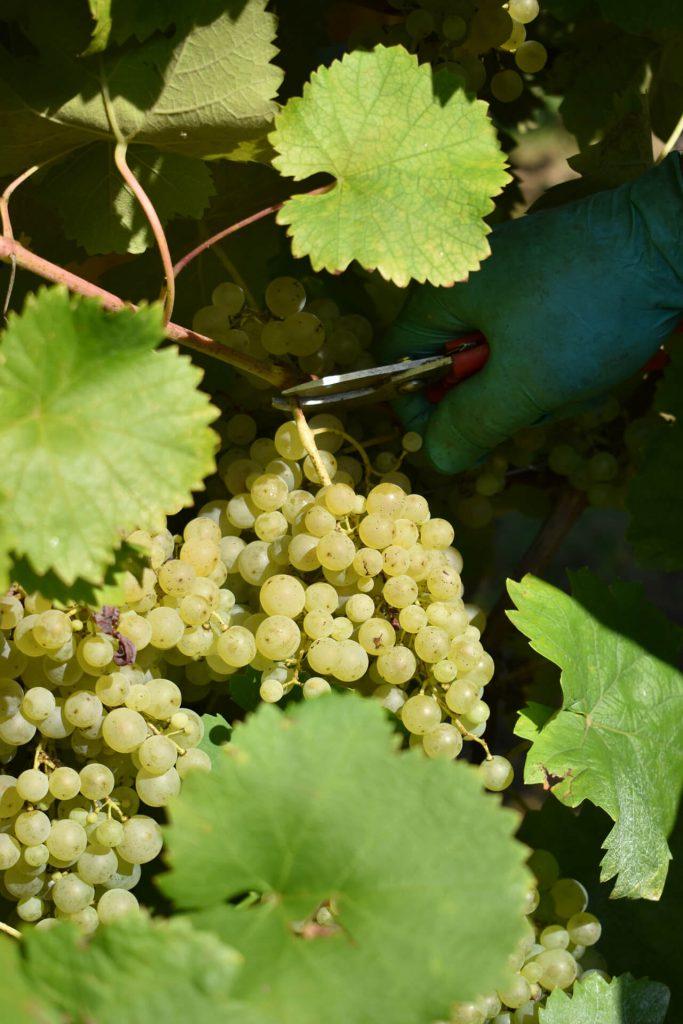 taglio grappolo uva vendemmia